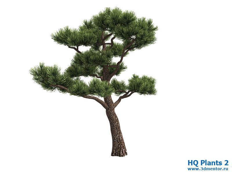 bonsai_pine_07