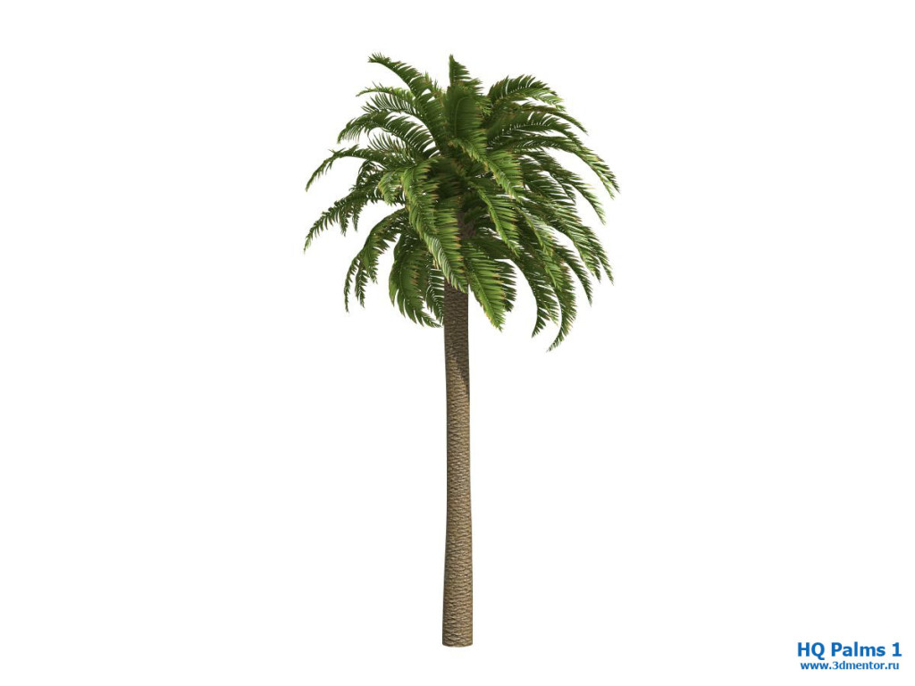 canary_date_palm_wind_1_01
