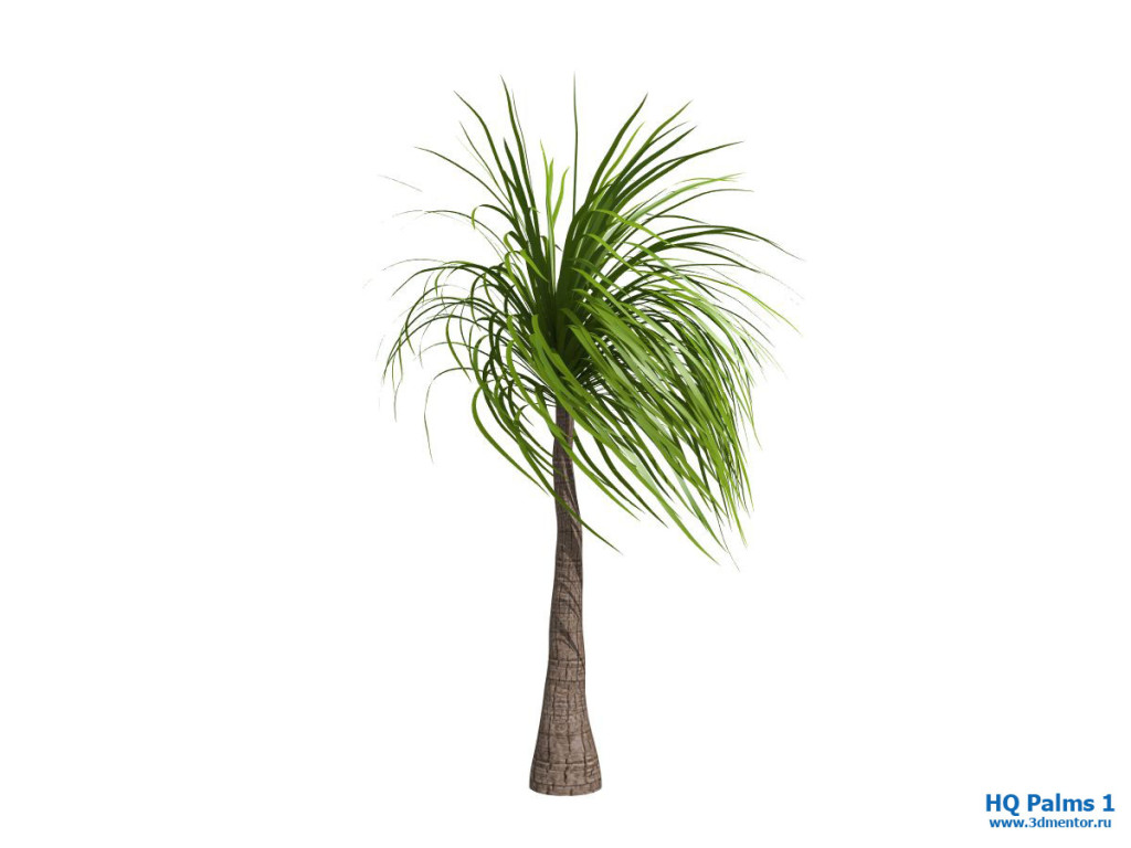 ponytail_palm_wind_03