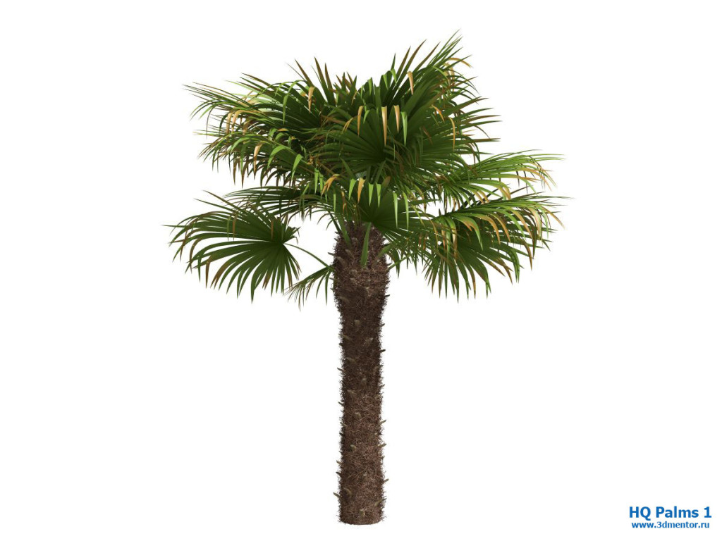 windmill_palm_02