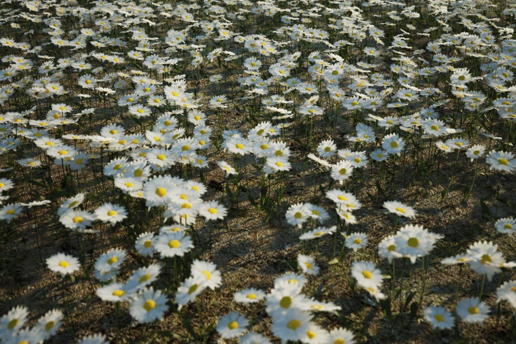 the_boundary_daisies02