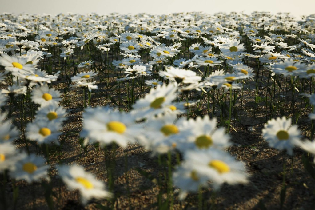the_boundary_daisies03