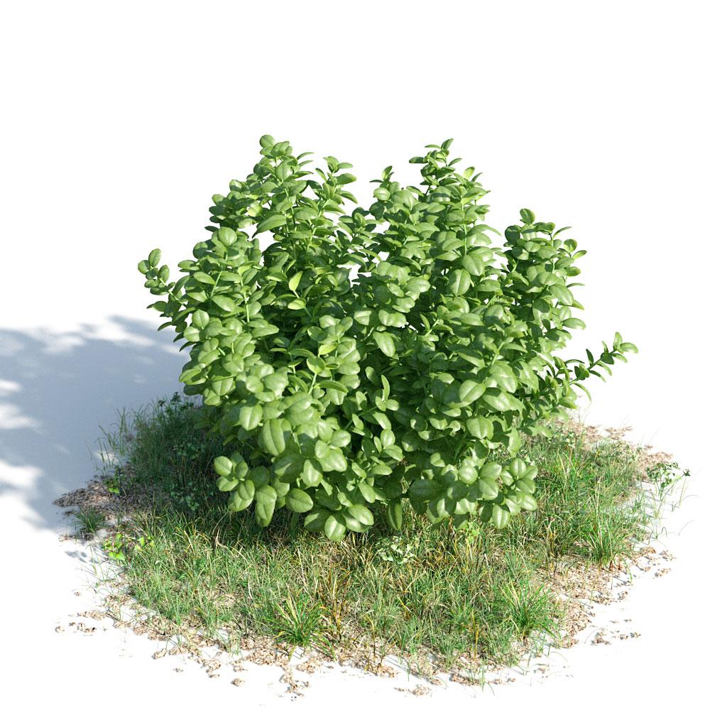 023_Ficus_Microcarpa