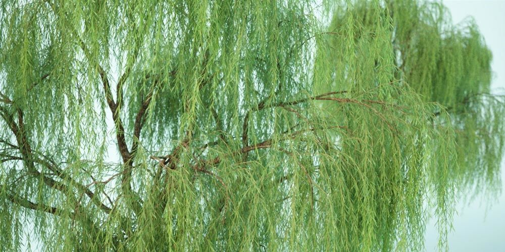 willow_tree_free_3d_model_vizpark