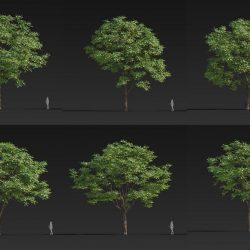Free 3D Models DCX | Toona sinensis